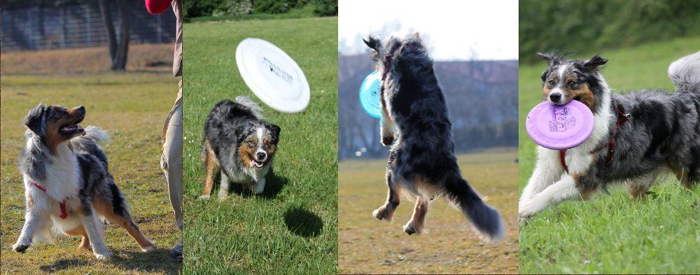 Dog frisbee - pozytywnie wzmocniona sekwencja drapieżna